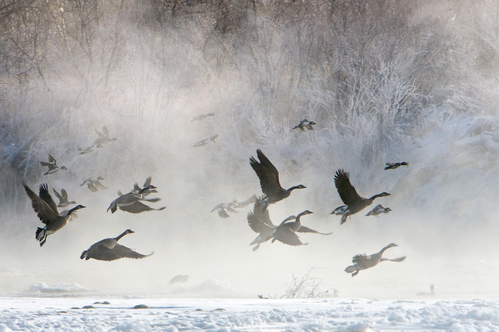 Cold Morning Flight, Yellowstone River<br /> Two Moon Park, Billings, MT