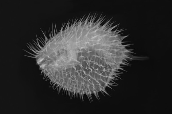 X-ray Vision: Long-spine Porcupine Fish