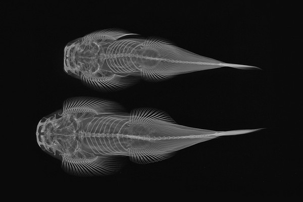 X-ray Vision: Torrent Loach