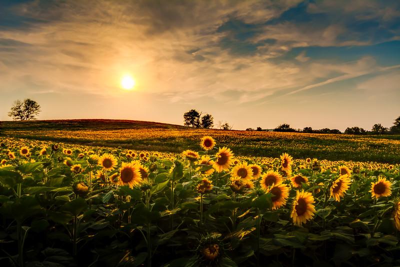Kansas Sunflower Field at Dusk