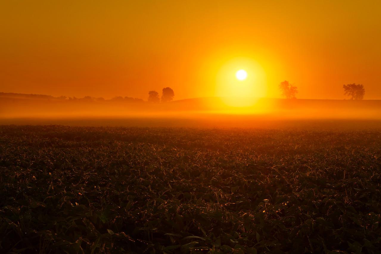 Bean Field Foggy Sunrise