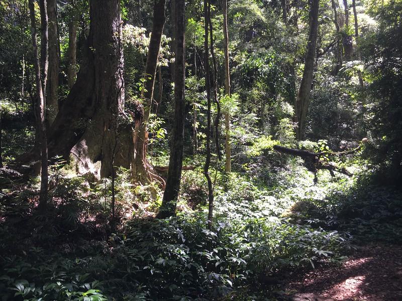 Dense Rainforest in Bunya Mountain