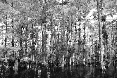 Cypress Trees 3722  bw