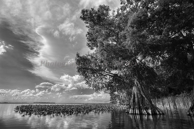 Cypress trees Lake Istokpoga 448 bw