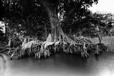 Cypress trees Lake Istokpoga 1942 bw