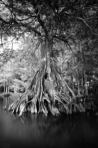 Cypress trees Lake Istokpoga 488 bw