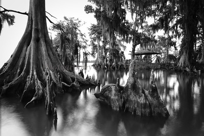 Cypress trees Lake Istokpoga 1493 bw