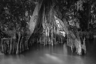 Cypress trees Lake Istokpoga 1995 bw
