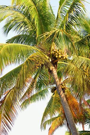 Palm tree 8592