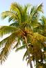 Palm tree 8536