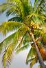 Palm Tree 8597 a