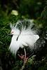 Snowy Egret 5509