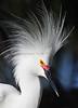 Snowy Egret 1676