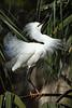 Snowy Egret 2041