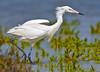 Reddish Egret morph 6422