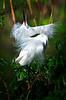 Snowy Egret 1173 a