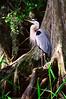 Great Blue Heron 3662 16x24