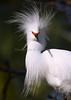Snowy Egret 1944