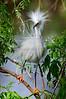 Snowy Egret 1201a