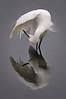 Egret Snowy 3332 a