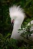 Egret Snowy 4935 a