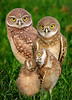 Burrowing owl family portrait a