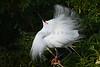 Snowy Egret 3220 a