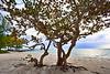 Sea Grape tree 8200