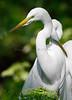 Egrets 8023