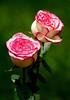 Rose5750