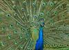 Peacock 5268