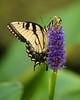 Tiger Swallowtail  3841