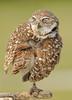 Burrowing owl 8462