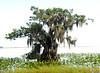 Cypress trees Lake Istokpoga 239