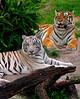 Tigers 001 Bush Gardens