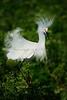 Snowy Egret 1812 a