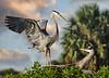 Great Blue Herons9475