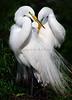Egrets 1050a