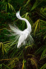 Great Egret 8466 a