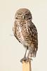 Burrowing owl 8764