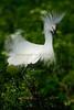Snowy Egret 1811