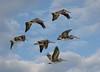Pelicans 240