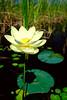 Lotus Flower 1289