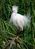 Snowy Egret 1528