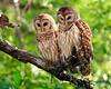 Owls  9612
