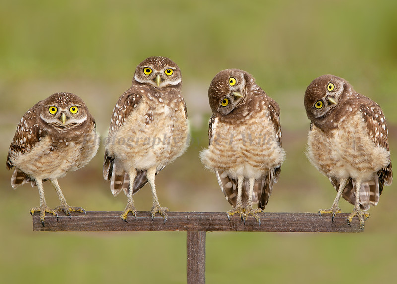 Burrowing Owls 6472c  I've had many people ask for this image however because  it was taken as a panorama and sized at 8 X 17 it wouldn't fit a standard frame. To remedy this I added some background to it and made it an 8X10/11X14/8X12 format for easy framing and matting. Thanks RJ