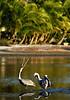 Pelicans 8454