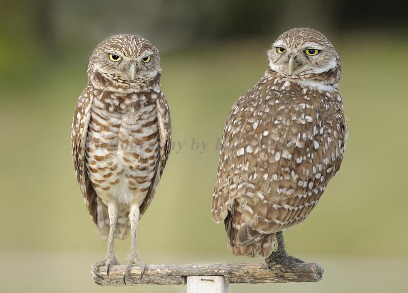 Burrowing owls 8427