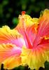 Hibiscus189