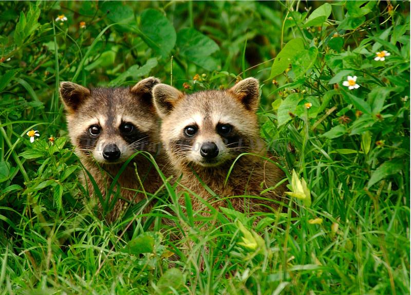 Raccoon babies 711
